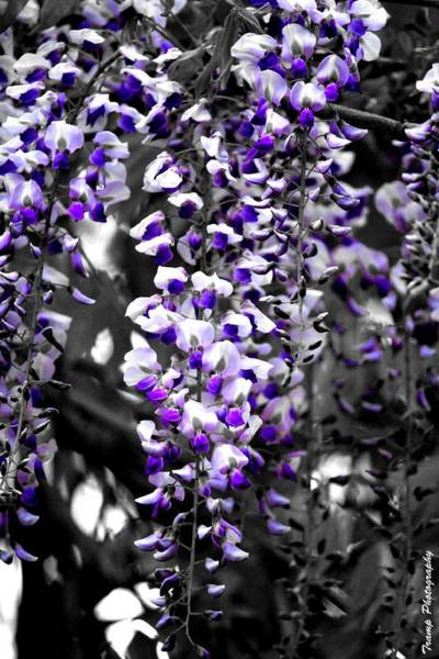 Photograph - Hanging Purple by Wesley Nesbitt