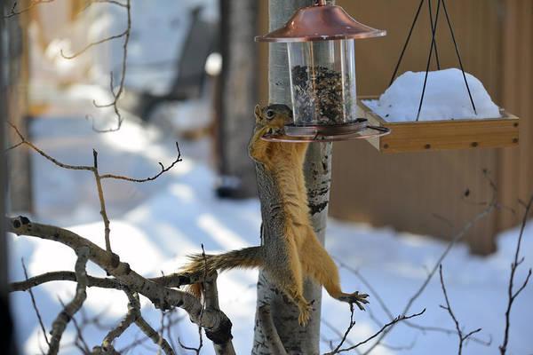 Photograph - Hanging Squirrel by Matt Swinden