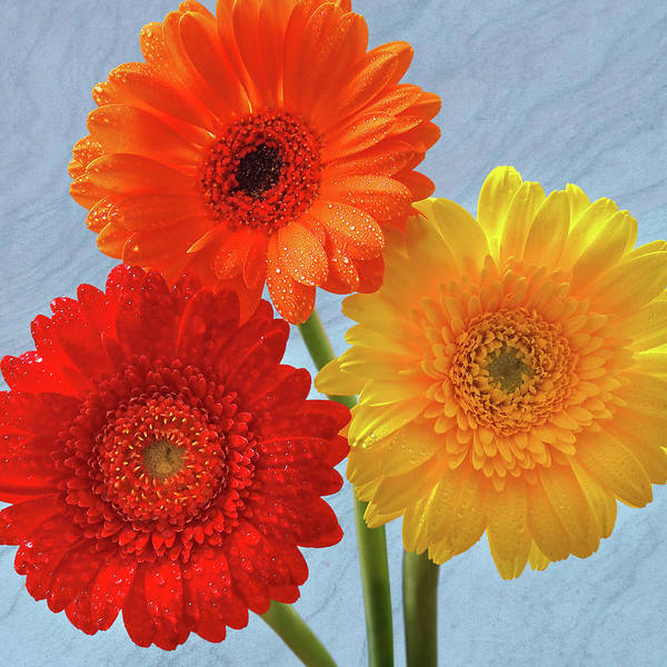 Wall Art - Photograph - Happiness Orange Red And Yellow Gerbera On Blue by Gill Billington