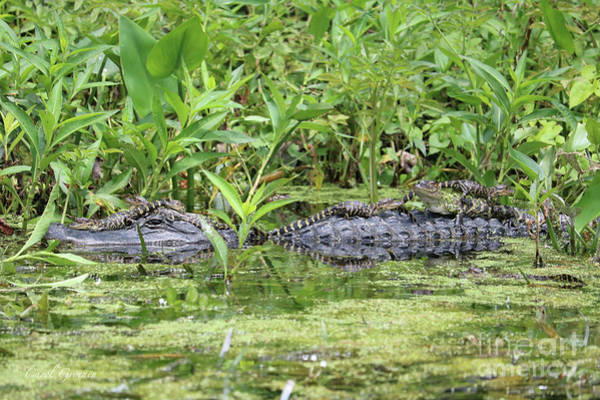 Photograph - Happy Baby Gators With Mom by Carol Groenen