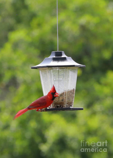 Wall Art - Photograph - Happy Cardinal At Feeder by Carol Groenen