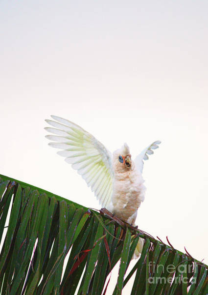Photograph - Happy Corella 1 by Russell Brown
