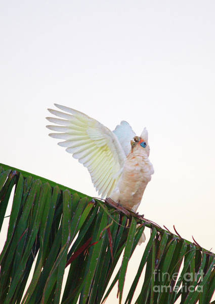Photograph - Happy Corella 2 by Russell Brown