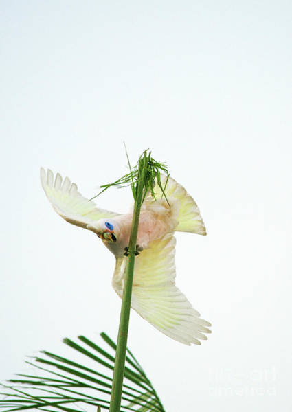 Photograph - Happy Corella 3 by Russell Brown