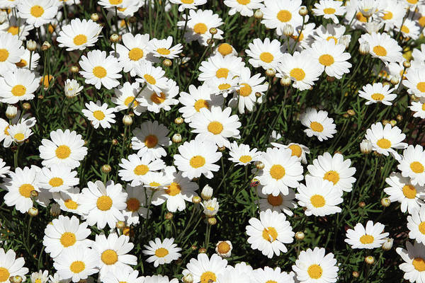 Floral Mixed Media - Happy Daisies- Photography By Linda Woods by Linda Woods