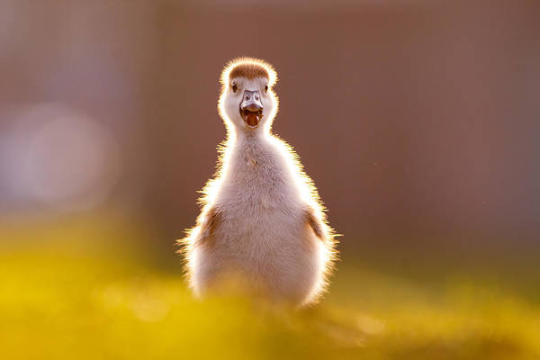 Wing Back Wall Art - Photograph - Happy Easter - Cute Baby Gosling by Roeselien Raimond