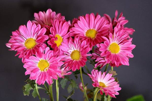 Photograph - Happy Face Pink Mums by Sheila Brown