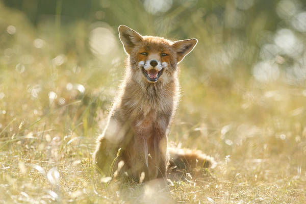 Vulpes Vulpes Photograph - Happy Fox Is Happy by Roeselien Raimond