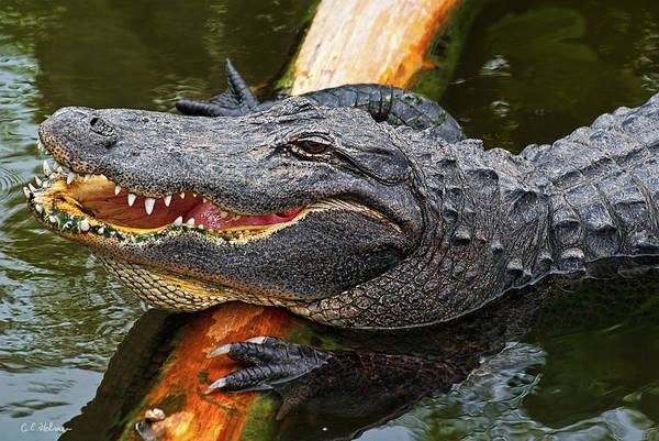 Photograph - Happy Gator by Christopher Holmes
