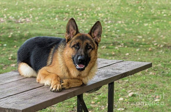 Photograph - Happy German Shepherd Dog by Les Palenik