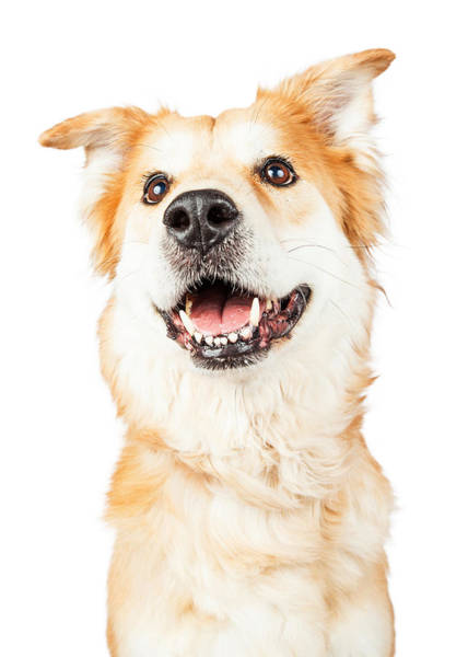 Crossbreed Wall Art - Photograph - Happy Golden Retriever Crossbreed Dog Looking Up by Susan Schmitz