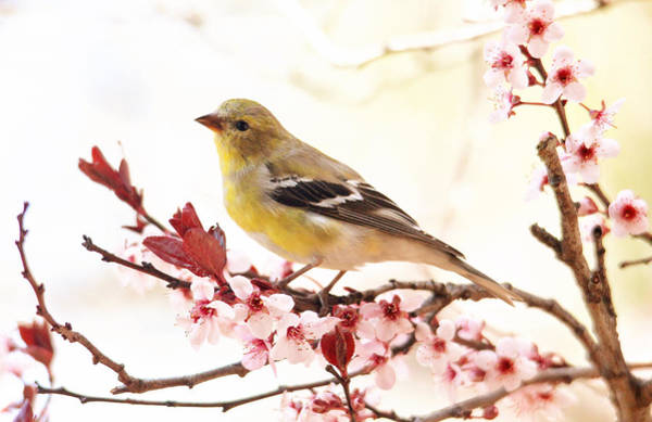 Photograph - Happy Goldfinch by Trina Ansel