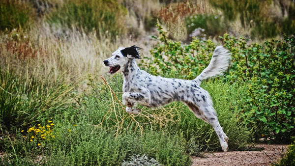 Photograph - Happy Huntress, English Setter by Flying Z Photography by Zayne Diamond