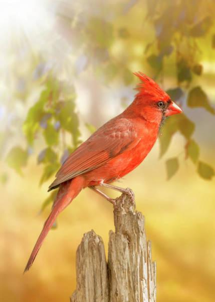 Wall Art - Photograph - Happy Morning Redbird by Bill Tiepelman