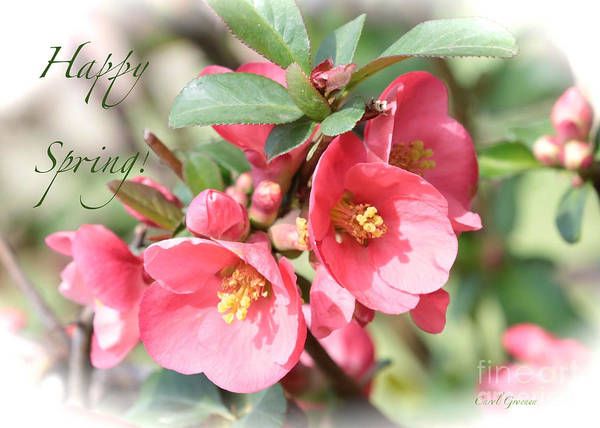 Quince Photograph - Happy Spring Flowering Quince Card And Poster by Carol Groenen