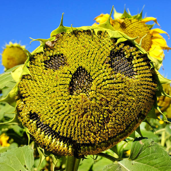 Photograph - Happy Sunflower by Fabrizio Troiani