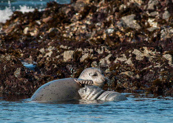 Photograph - Harbor Seal And Pup by Robert Potts
