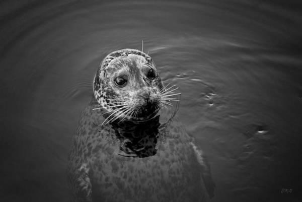 Photograph - Harbor Seal I Bw by David Gordon