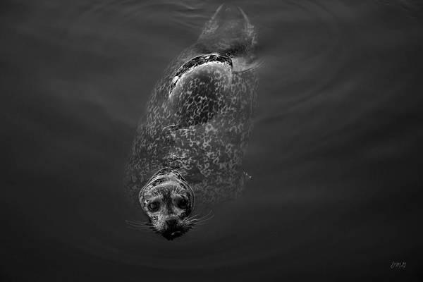Photograph - Harbor Seal II Bw by David Gordon