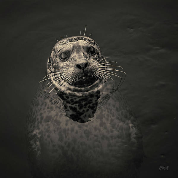 Photograph - Harbor Seal IIi Toned Sq by David Gordon