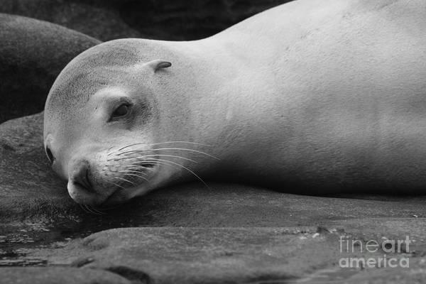 Photograph - Harbor Seal Nap by John F Tsumas