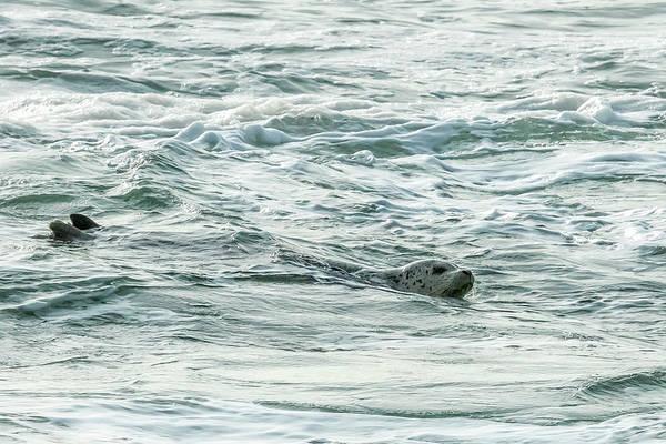 Photograph - Harbor Seal, No. 2 by Belinda Greb