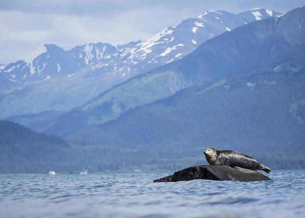 Photograph - Harbor Seal Perch by Ian Johnson