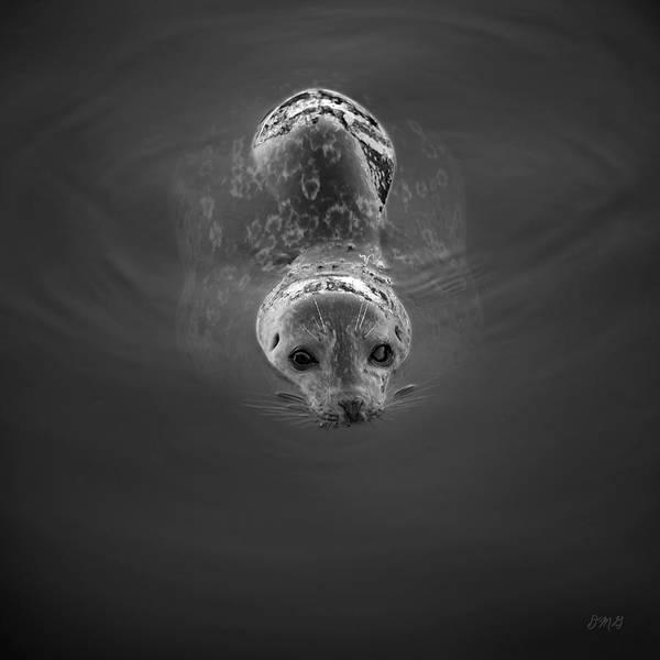 Photograph - Harbor Seal V Bw Sq by David Gordon