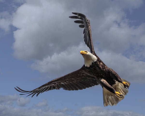 Photograph - Hard Banking Eagle by Wes and Dotty Weber