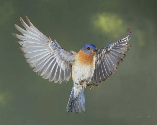 Photograph - Hard Working Blue by Gerry Sibell