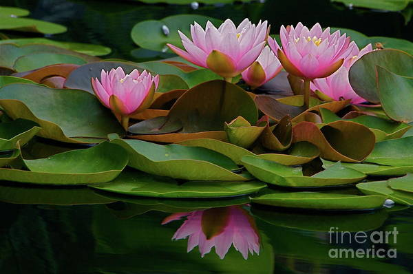 Photograph - Hardy Pink Water Lilies by Byron Varvarigos
