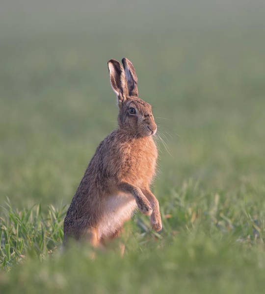 Photograph - Hare At Dawn by Peter Walkden