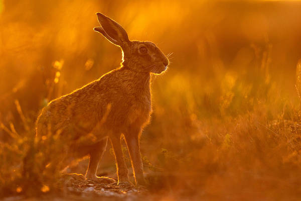 Photograph - Hare At Dusk by Simon Litten