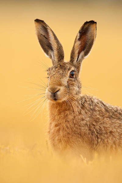 Photograph - Hare In Barley Stubble by Simon Litten