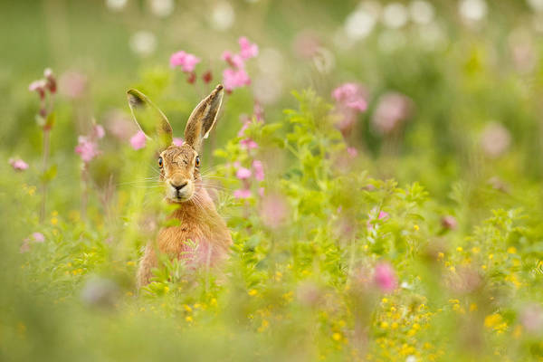 Photograph - Hare In Campion by Simon Litten