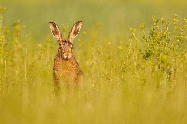 Photograph - Hare In Mustard Crop by Simon Litten