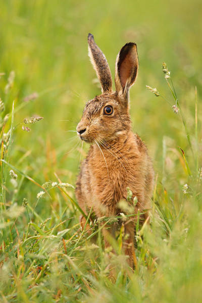 Photograph - Hare In The Grass by Simon Litten