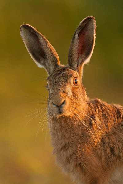 Photograph - Hare Portrait by Simon Litten