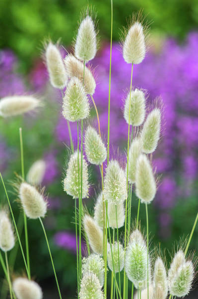 Ornamental Grass Photograph - Hare's Tail Grass by Tim Gainey