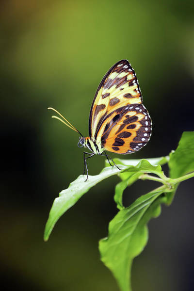 Photograph - Harmonia Tiger Wing by Grant Glendinning