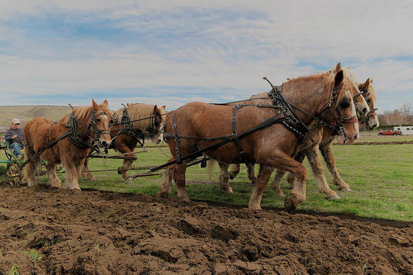Plow Horses Photograph - Harnased Power by Jeff Swan