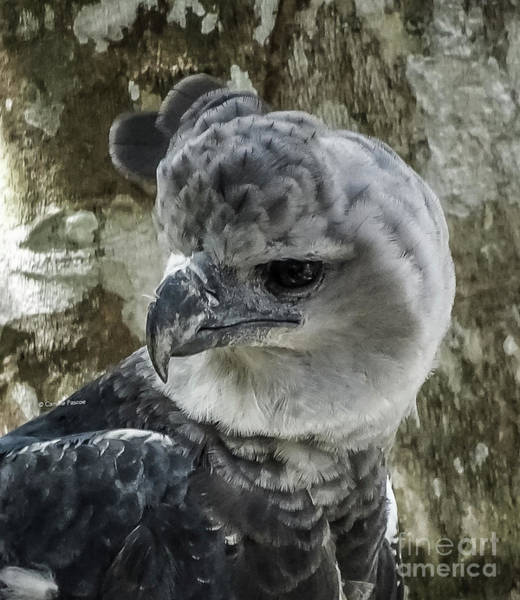 Photograph - Harpy Eagle by Camille Pascoe