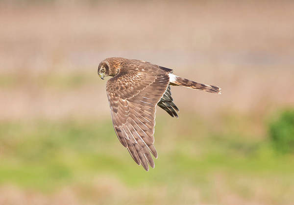 Harrier Photograph - Harrier Hen Hunting by Loree Johnson