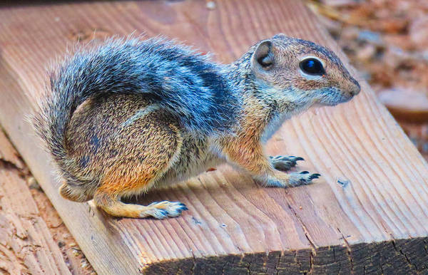 Photograph - Harris Antelope Squirrel by Judy Kennedy