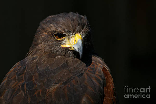 Photograph - Harris Hawk - Aloof by Sue Harper