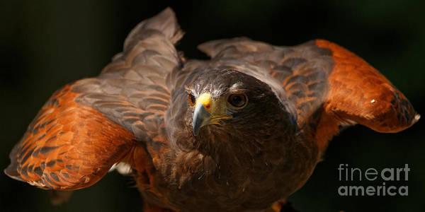 Photograph - Harris Hawk - Beauty by Sue Harper