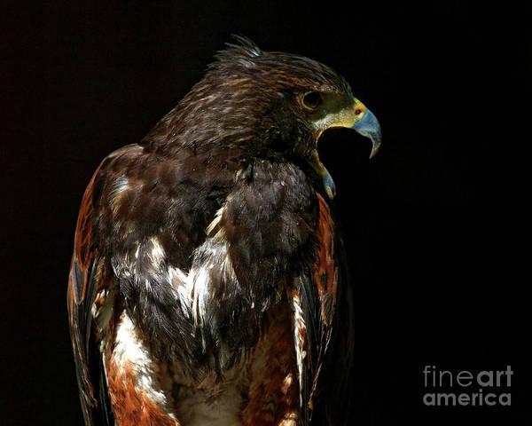 Photograph - Harris Hawk - Call by Sue Harper