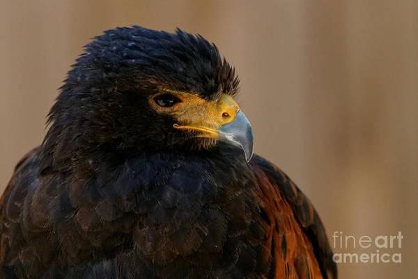 Photograph - Harris Hawk Closeup by Sue Harper