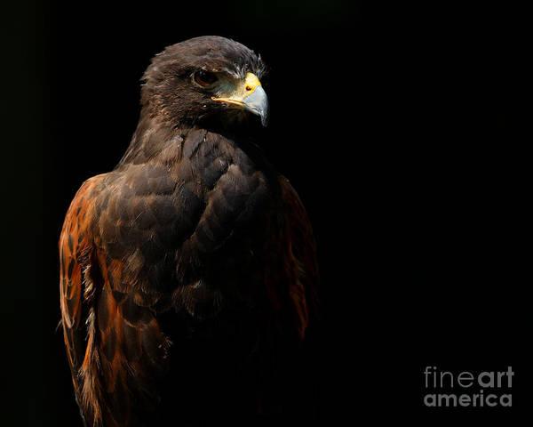 Photograph - Harris Hawk In The Shadows by Sue Harper