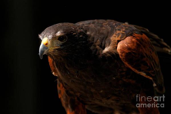 Photograph - Harris Hawk - Intense Stance by Sue Harper